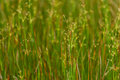 Germany bavaria sharp flowered rush in sunlight Royalty Free Stock Photography
