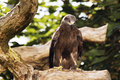 Germany, Köln, Black Kite in zoo Royalty Free Stock Photo