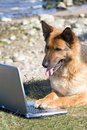 Germany Sheep-dog with laptop Stock Photo