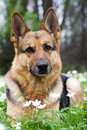 Germany sheep-dog laying in garden Royalty Free Stock Photo