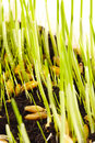 Germinate and seeds sprout in the earth Stock Photography