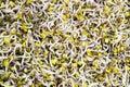 Germinated alfalfa Royalty Free Stock Photo