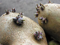 Germinating potatoes before the planting in the vegetable garden Royalty Free Stock Photos