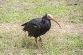 Gerunticus eremita northern bald ibis reasting relaxed Stock Images