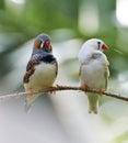 Gestreept finch birds Stock Foto's