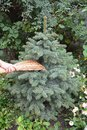Get rid of spider mites in pine trees with broom.  Spiders Web Royalty Free Stock Photo