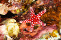 Ghardaqa sea star Royalty Free Stock Photo