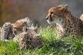 Ghepardo e cub Fotografia Stock