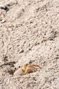 Ghost crab climbing out of sand tunnel Royalty Free Stock Photo