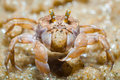 Ghost crabs (Ocypode quadrata) Royalty Free Stock Photo