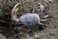 Ghost crabs, Seychelles Royalty Free Stock Photo