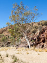 Ghost gum desert tree australia in the australian outback Stock Photography