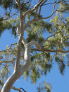 Ghost Gum Tree Royalty Free Stock Photo