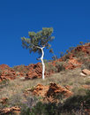 Ghost gum Tree in West Mac ranges Royalty Free Stock Photo