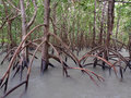 Ghostly mangroves east point reserve darwin australia in water northern territory Royalty Free Stock Photography