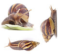 Giant African land snail Stock Images