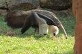 Giant anteater Royalty Free Stock Photo
