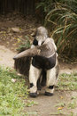 Giant Anteater and baby Royalty Free Stock Photo