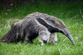Giant anteater 1 Royalty Free Stock Photo