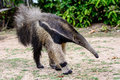 Giant Anteater on the move Royalty Free Stock Photo