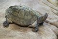 Giant asian pond turtle Royalty Free Stock Photo