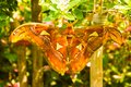 The giant Atlas butterfly moth, Attacus atlas
