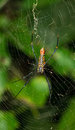 Giant Banana Spider Royalty Free Stock Image