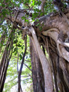 Giant Banyan Tree Vines Royalty Free Stock Photo