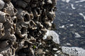 Giant Barnacles Stock Image