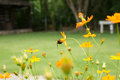 Giant bee worker and cosmos flower field beautiful Royalty Free Stock Photo