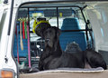 Giant black Great Dane dog sitting in car waiting for owner Royalty Free Stock Photo