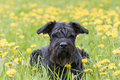 Giant Black Schnauzer Dog lying at the dandelion meadow Royalty Free Stock Photo
