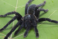 Giant Black spider isolate on green Royalty Free Stock Photo