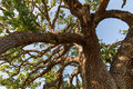 Giant branches of giant valley oak tree in Southern California