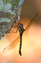 Giant brown and green dragonfly perched on a tree trunk Royalty Free Stock Photo