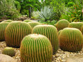 Giant cactuses in Botanical Garden Royalty Free Stock Photography