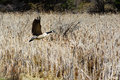 Giant canada goose on flight in wheat field close view of a of cypress hill provincial park saskatchewan motion picture Royalty Free Stock Photography