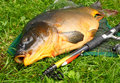 Giant carp (Cyprinus carpio). Royalty Free Stock Photography