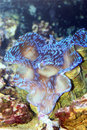 Giant clam tridacna gigas in japan Royalty Free Stock Images