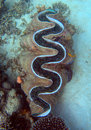 Giant clam underwater Stock Photography