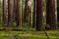 Giant Coast Redwood Trees Tower Over The Forest Floor. Royalty Free Stock Photo