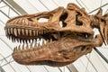 Giant Dinosaur or T-rex skeleton Royalty Free Stock Photo