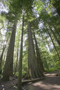 Giant Douglas Firs in temperate rainforest Stock Photography