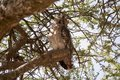 Giant eagle owl bulbo lacteus or verreaux s on the tree in the african savanna Royalty Free Stock Images