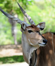 Giant Eland Stock Image