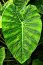 Giant Elephant Ear Taro leaf,Alocasia macrorrhizos