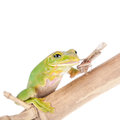 Giant Feae flying tree frog eating a locusts on white Royalty Free Stock Photo
