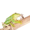 Giant feae flying tree frog eating a locusts on white rhacophorus isolated background Stock Photos