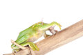 Giant feae flying tree frog eating a locusts on white rhacophorus isolated background Royalty Free Stock Photo
