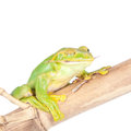 Giant feae flying tree frog eating a locusts on white rhacophorus isolated background Royalty Free Stock Photography
